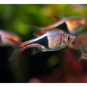 Poissons d 39 aquarium d 39 eau douce chaude et froide for Poisson aquarium eau chaude