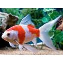 Poissons d 39 aquarium d 39 eau douce chaude et froide for Poisson aquarium eau douce froide