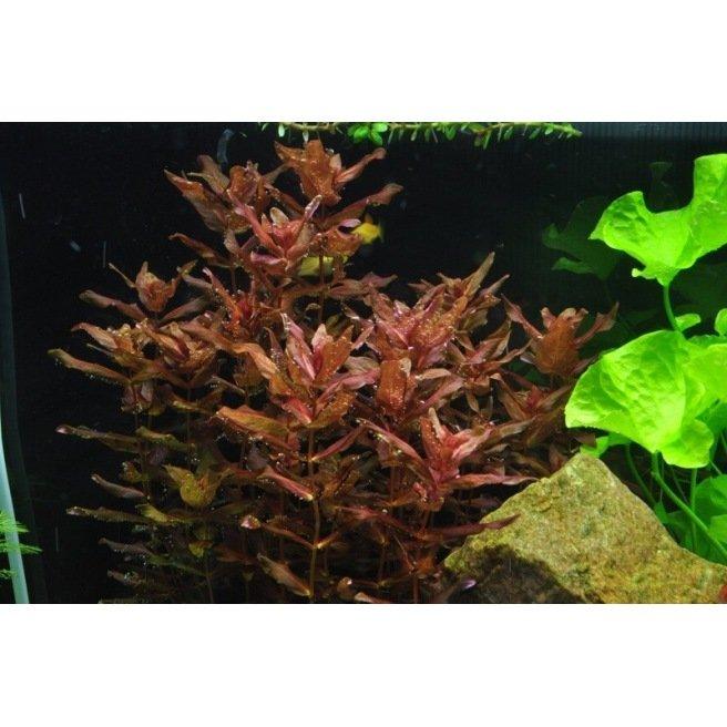 Rotala Macranda - Plante aquatique à tige