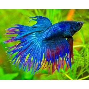 Betta Crowntail