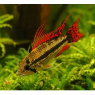 Apistogramma Cacatuoides Red Red
