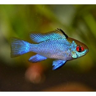 Mikrogeophagus Ramirezi Electric Blue