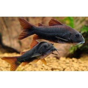Corydoras Aeneus Black