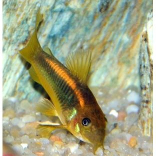 Corydoras Neon Orange