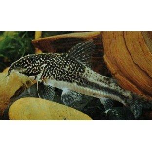 Corydoras Barbatus