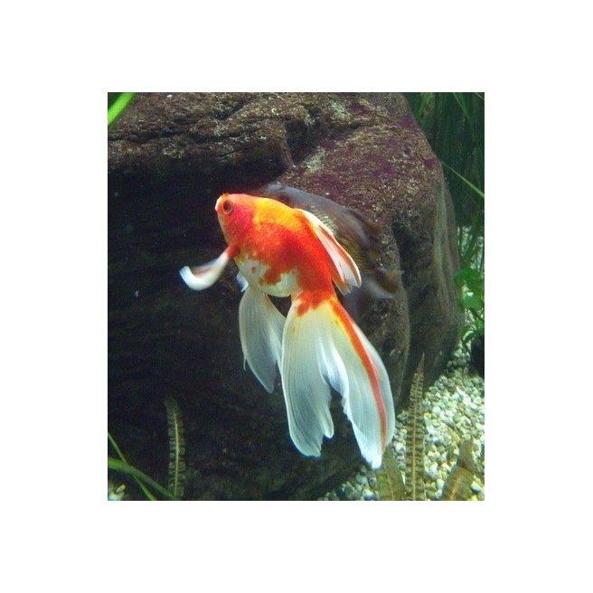 Voile de chine rouge blanc carassius auratus for Nourriture poisson rouge voile de chine