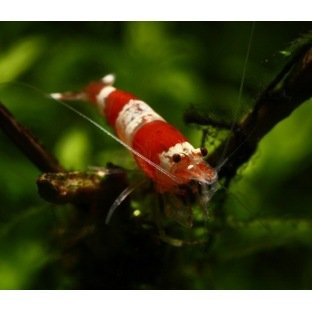 Caridina Crystal Red