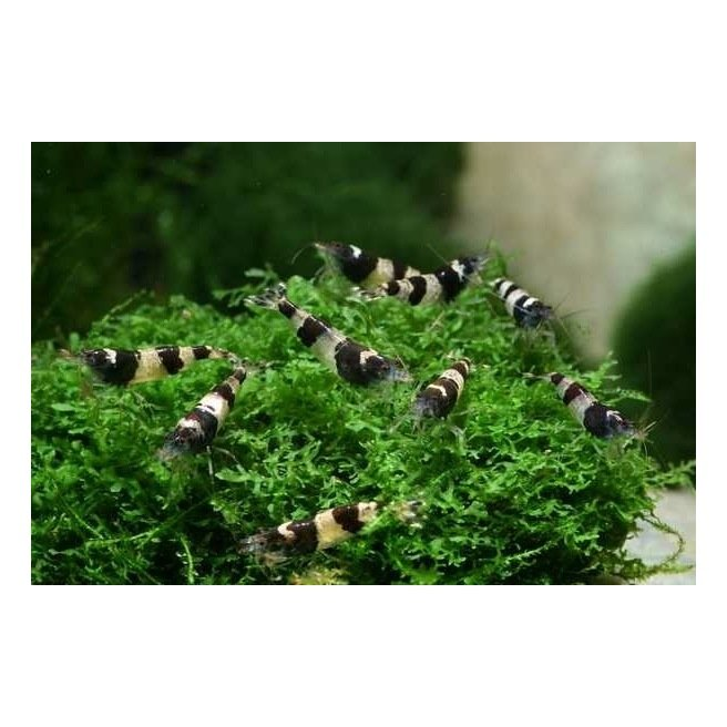 Caridina Bumble Bee