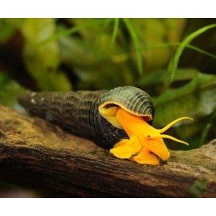 Tylomelania Donnerkeil - Escargot pour aquarium d'eau douce