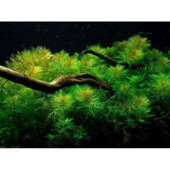 Myriophyllum Mattogrossense : Plante d'aquarium amazonien