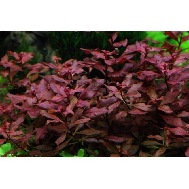 Ludwigia Palustris : Plante d'aquarium en pot