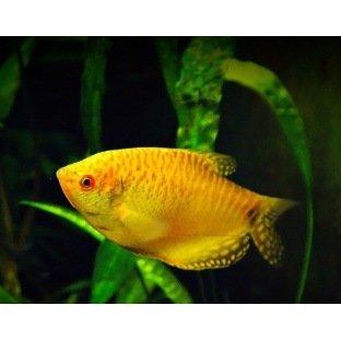 Trichogaster Trichopterus Orange