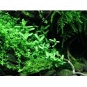 Bacopa Compact - petite plante d'aquarium polyvalente pour l'avant plan ou la zone du milieu