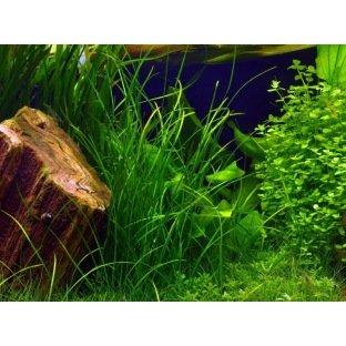 Vallisneria Nana - Plante d'aquarium facile même sans sol nutritif