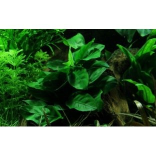 Anubia Barteri Nana - Plante d'aquarium