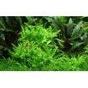 Pogostemon Helferi - Plante d'aquarium en pot ou in vitro