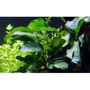 Anubia Barteri - Plante d'aquarium facile à fixer sur un support
