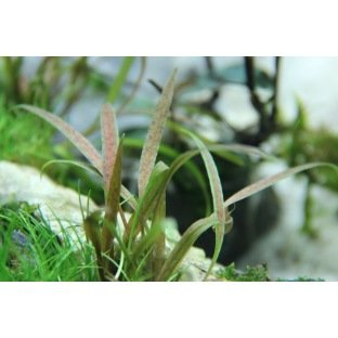 Cryptocoryne Albida Brown : Plante d'aquarium