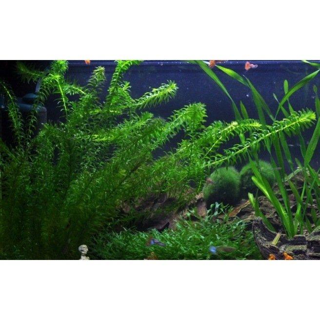 Elodea Densa - Plante d'aquarium d'arrière plan