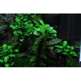 Anubia barteri Mini - Plante pour petits aquarium
