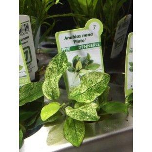 Anubia nana Pinto : Plante pour aquarium en pot facile à entretenir