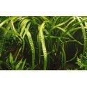 Cryptocoryne Crispatula : Plante aquatique d'arrière plan