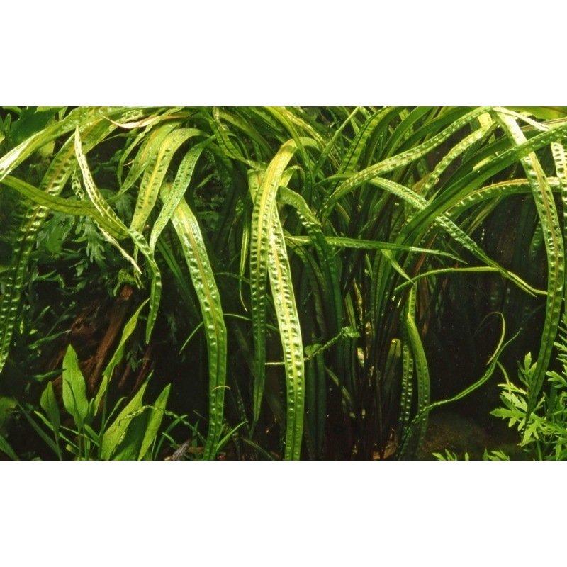 plante aquatique cryptocoryne