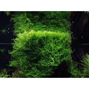 Taxiphyllum Barbieri - Mousse pour aquascaping