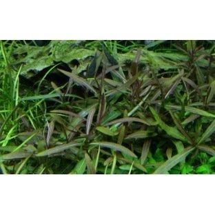 Hygrophila Araguaia - Plante d'aquarium d'avant plan