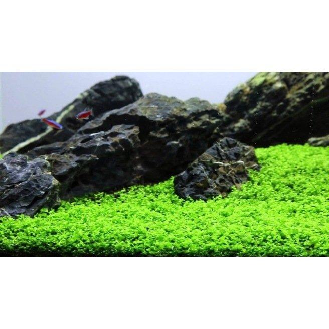 Micranthemum Monte Carlo - plante d'avant plan de l'aquarium