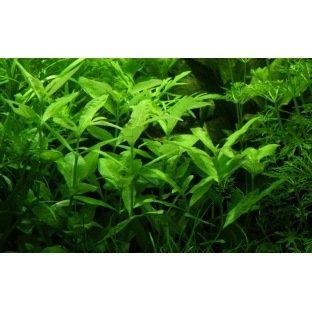 Hygrophila Polysperma - Plante à tige d'arrière plan
