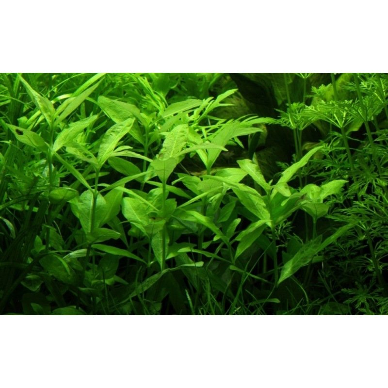 hygrophila polysperma plante tige d 39 arri re plan. Black Bedroom Furniture Sets. Home Design Ideas