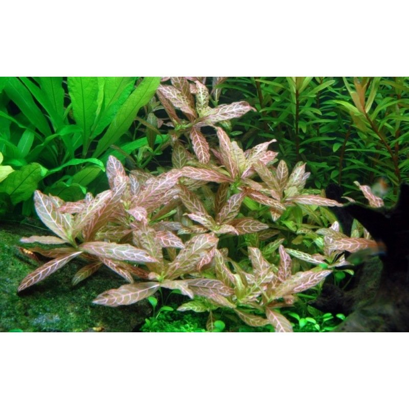 Plante pour aquarium hygrophila rosanervig for Plante pour aquarium