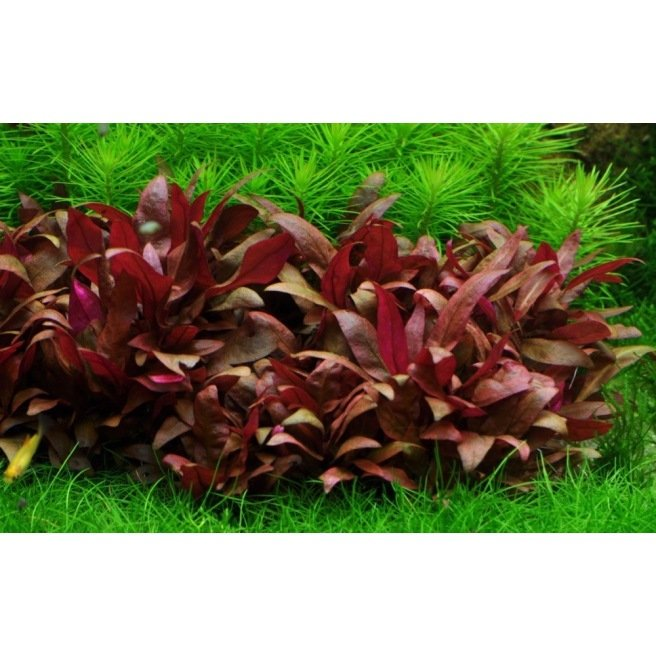 Alternanthera Reineckii Mini : Plante pour avant plan