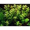 Bacopa Caroliniana : Plante pour arrière plan