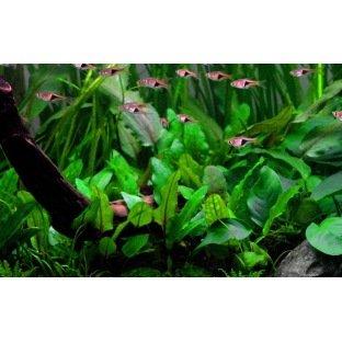 Cryptocoryne Wendtii verte - Plante pour Aquarium