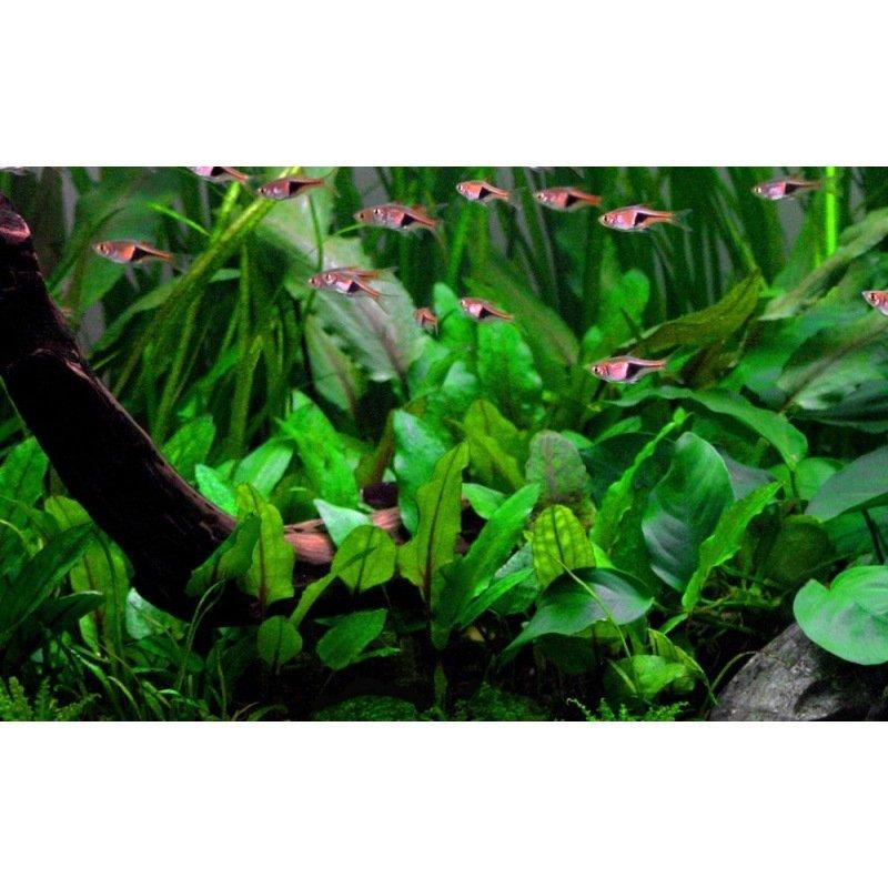 plante pour aquarium cryptocoryne wendtii verte. Black Bedroom Furniture Sets. Home Design Ideas