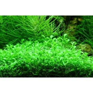 Glossostigma Elatinoides - Plante aquatique d'avant plan