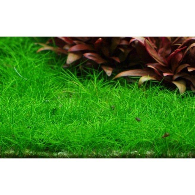 Eleocharis Sp Mini : plante gazonnante pour aquarium