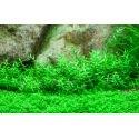 Gratiola Viscidula - Plante d'aquarium facile à maintenir