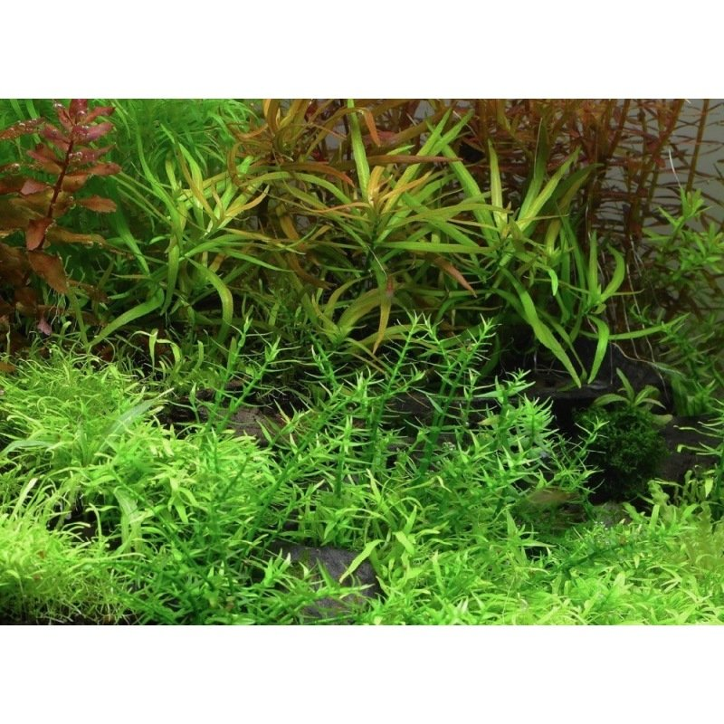 Plante d 39 aquarium d 39 eau douce gratiola viscidula in vitro for Plante aquarium eau douce