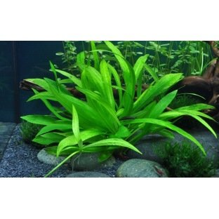Helanthium Quadricostatus : Plante d'aquarium pour avant plan