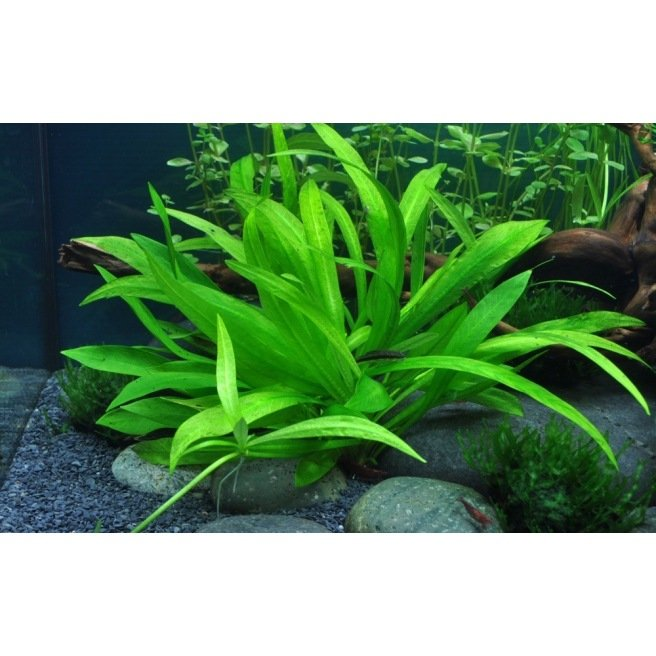 plante aquatique jumbo