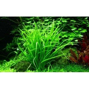 Helanthium Tenellum - Plante d'aquarium gazonnante