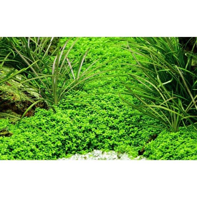 Hemianthus Cuba - Plante d'aquarium gazonnante
