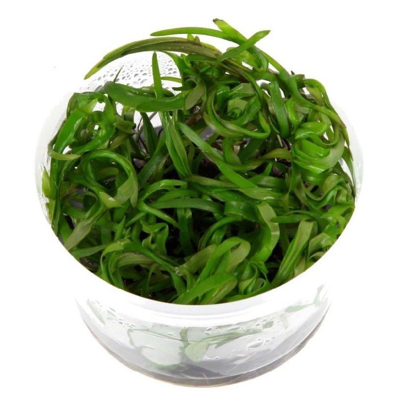 plante d arri 232 re plan pour aquarium heteranthera zosterifolia