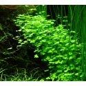 Hydrocotyle Tripartita : Plante d'aquarium pour avant plan