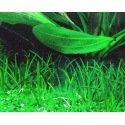Littorella Uniflora - Plante pour avant plan
