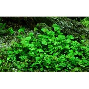 Marsilea Hirsuta - Plante pour avant plan