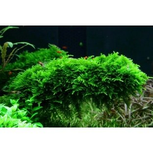 Vesicularia Dubyana Christmas - Mousse pour aquarium